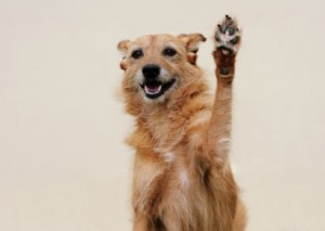 old dog high 5 300x213 Benefits of Dogs in the Workplace